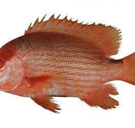 ماهی سرخو اصلی