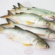ماهی راشگو2